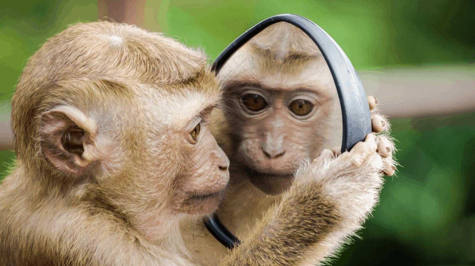 ein Affe sieht in einen Spiegel und erblickt sein Spiegelbild